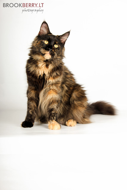 maine_coon_breed