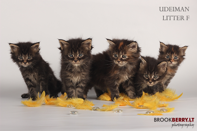 maine_coon_litter